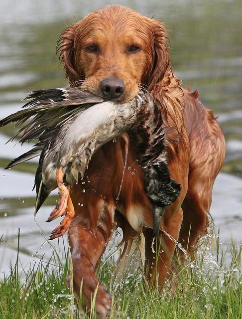 Pin By Cindy Gebhardt On Goldens Golden Retriever Training Dogs