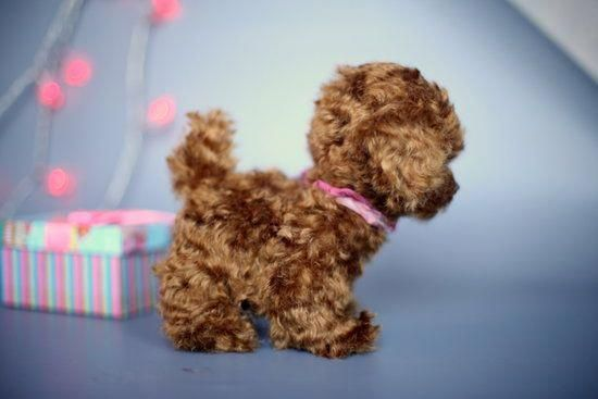 See Our Site For Even More Info On Poodle It Is An Exceptional