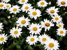 Planting Shasta Daisies – The Growing And Care Of Shasta Daisy      By Becca Badgett      Shasta daisy flowers provide perky summer blooms, offering the look of the traditional daisy along with evergreen foliage that lasts year round in many locations. When you learn how to grow Shasta daisy, you'll find it to be the perfect, low maintenance perennial for naturalizing and filling in bare spots in the landscape.