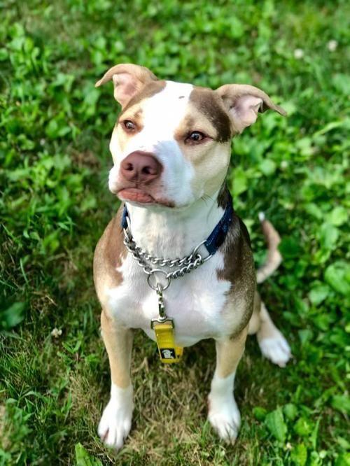Dogs For Adoption Petfinder Pitbull Terrier Pet Adoption Pitbulls