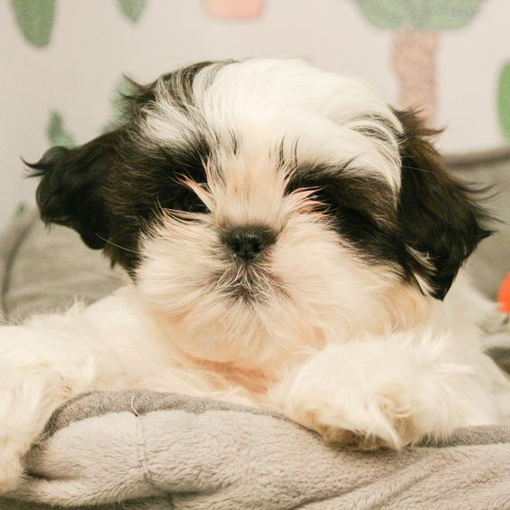 Shih Tzus Are A Hero Of The Toy Group Being Cute Is A Way Of Life