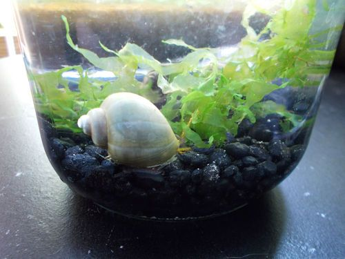 3 blue mystery snails breeding trio freshwater live for Snails in fish tank