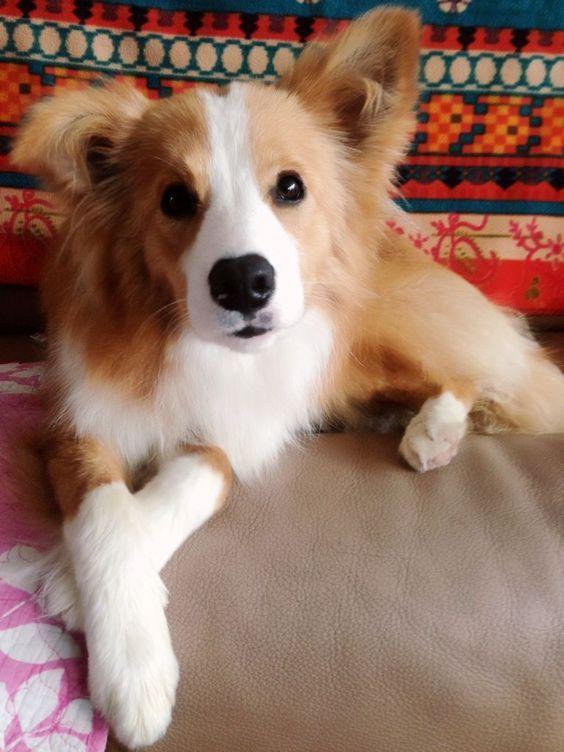 5 Astounding Border Collie Dog Tips Ideas Collie Dog Dogs Dog Breeds