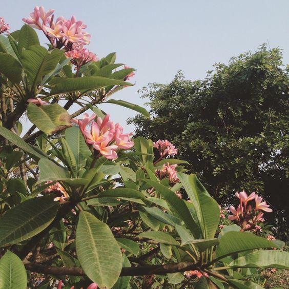 in love with frangipani.