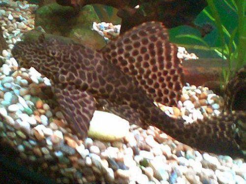 Sailfin Plecostomus Plecostomus Cool Fish Fish