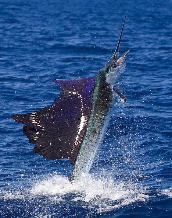 Sailfish photo fish sailfish swordfish for Florida deep sea fishing