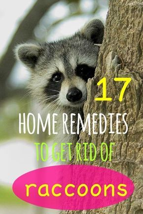 17 Simple Home Remedies To Get Rid Of Raccoons Getting Rid Of