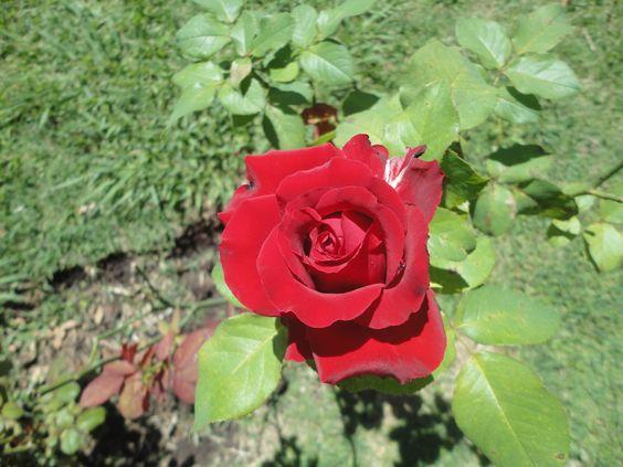 rosa 8