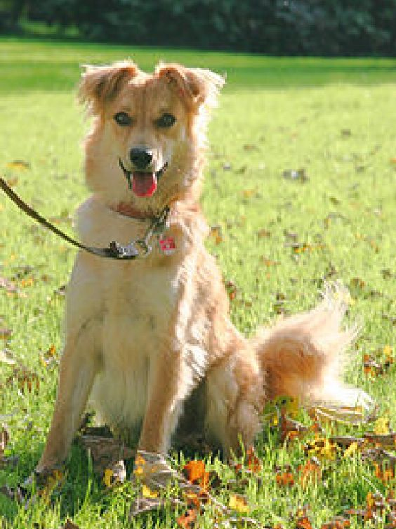 basque shepherd dog one of the oldest dog breeds some