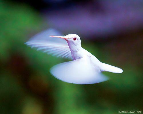 Albino Hummingbird picture: