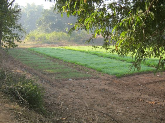 my village farm- Jharkhand