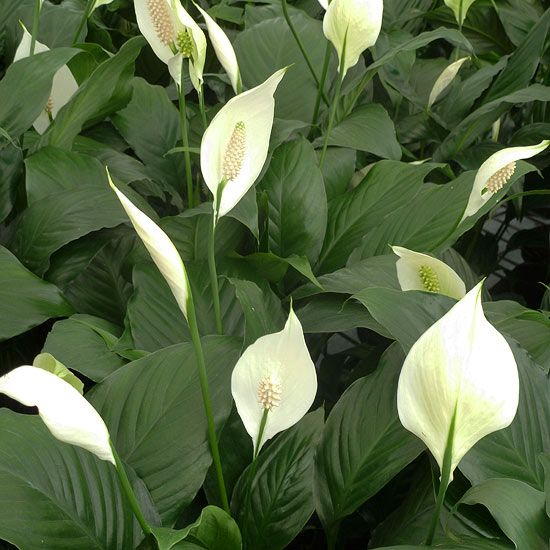 Peace Lily, This easy-to-grow gem lends a tropical feel to the room and is a good choice for gardeners inclined to overwater plants as it can take wetter soil than most. Glossy green pointed leaves grow with little care. Groom by removing any browned leaves or leaf tips. Depending on the size of your plant, you can grow it as a floor plant or on a tabletop.  1 to 4 feet tall and wide; the cultivar 'Sensation' can reach 6 feet  Low to bright light; 60-85 degrees F; evenly moist soil
