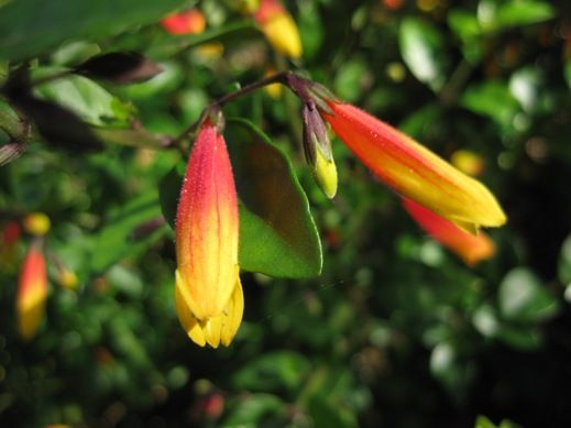Justicia rizzinii - 1m tall, sun or shade. Also called Justicia Floribunda