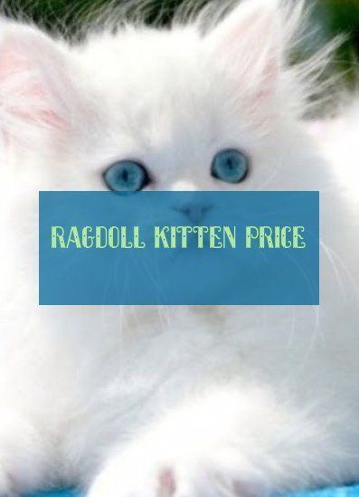 Most Current Snap Shots Ragdoll Cats Price Suggestions The Bigger