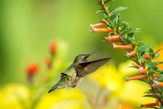 Hummingbird.  Animals photo by AnthonyLe2 http://rarme.com/?F9gZi