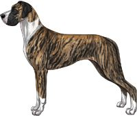 Brindle Mantle Great Dane
