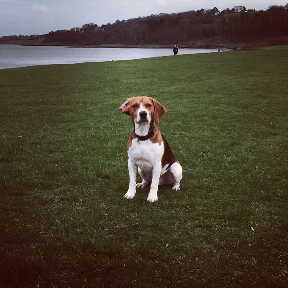 #hector #beagle