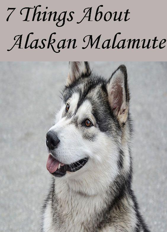 Things About Alaskan Malamute Alaskan Malamute Puppy Alaskan