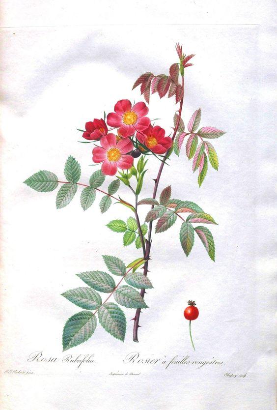 Botanical - Flower - Les Roses 5