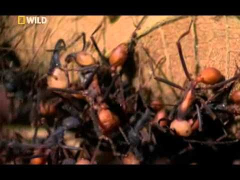 ▶ National Geographic Wild City Of Ants - YouTube