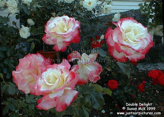 tea roses - Bing Images