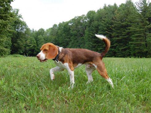 Chocolate Beagle Bluesmusic Blues Music Hound Dog Beagle