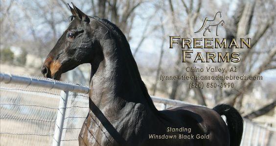 Winsdown Black Gold...American Saddlebred