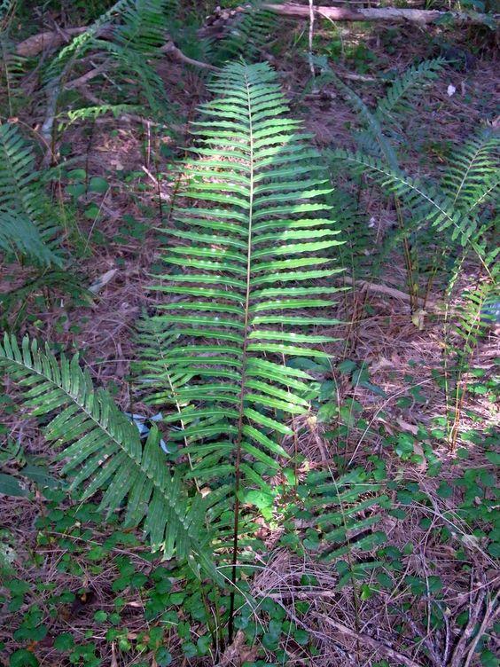 Blechnum indicum Swamp_Fern_near_Botany_Bay_Monterey.jpg (900×1200)