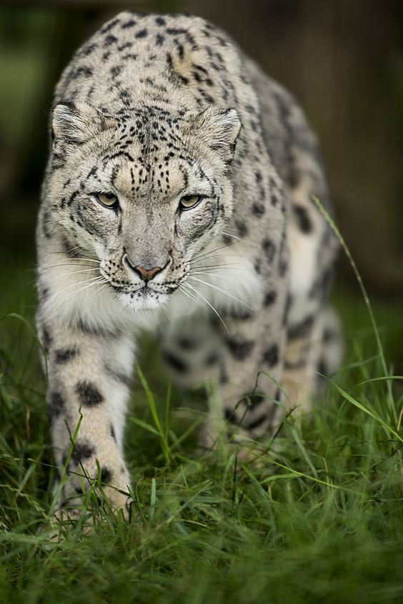 Snow Leopard by Colin Langford on 500px
