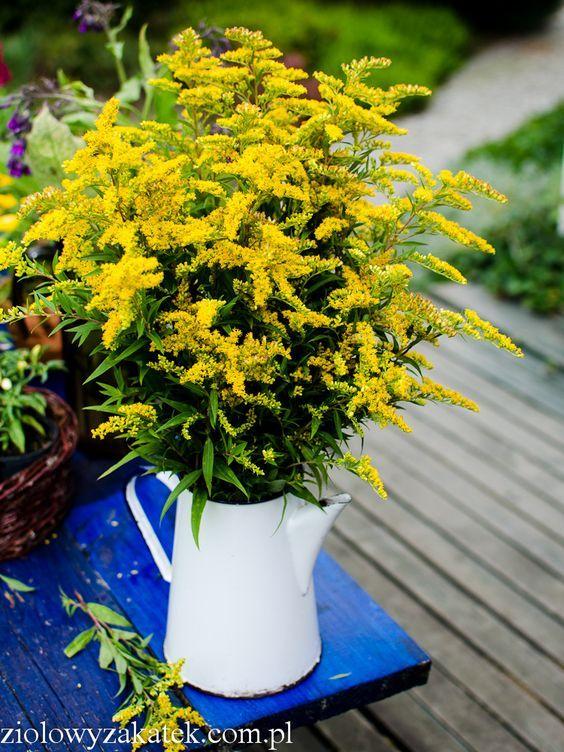 Nawloc Zastosowanie Tego Zoltego Ziela Klaudyna Hebda Blog Healing Herbs Herbs Herbalism
