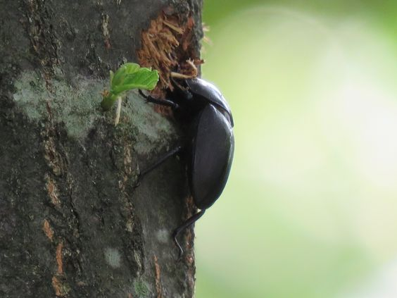 甲虫、栗の木. a beetle on a Japanese chestnut. 3 August 2016.
