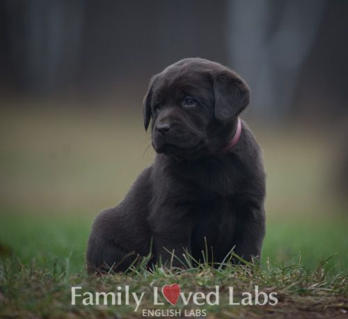English Chocolate Lab Puppy Female Chocolate Lab Puppy Available