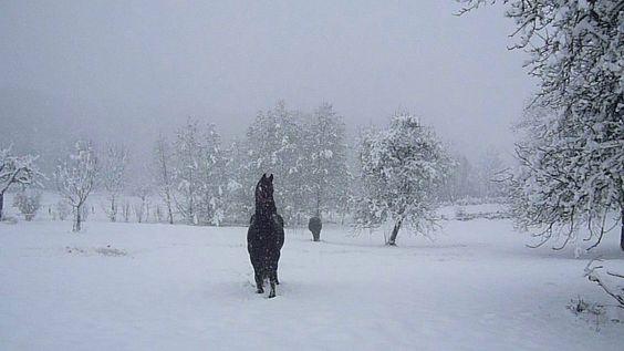 Jument Frison Ster (sortie sous la neige)