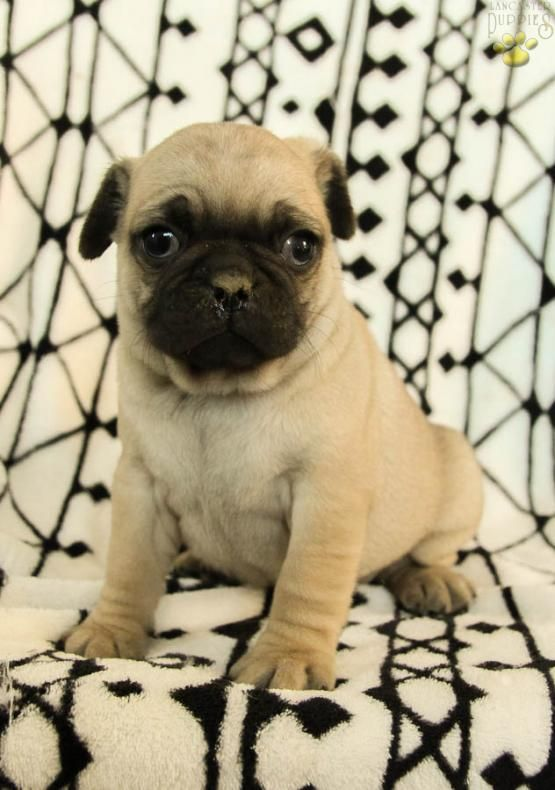 Frank Pug Puppy For Sale In Thompsontown Pa Lancaster Puppies