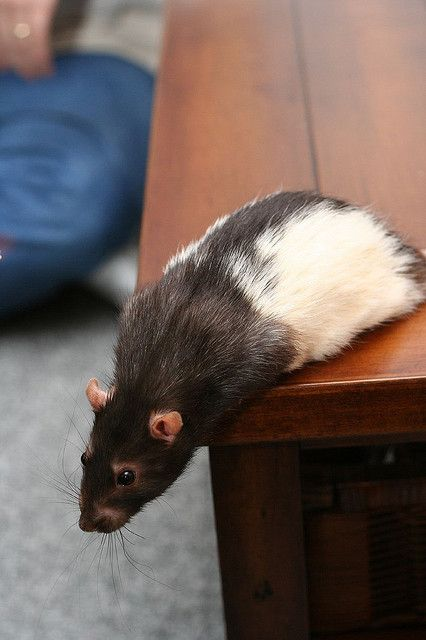 I got my first rat, Ben 38 years ago and I still love and have rat's to this day. This rat reminds me of Ben a lot !