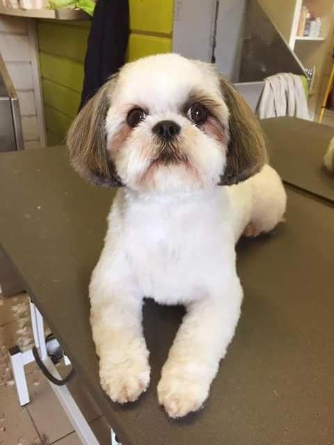 Shih Tzu Affectionate And Playful Dog Grooming Shih Tzu Shih