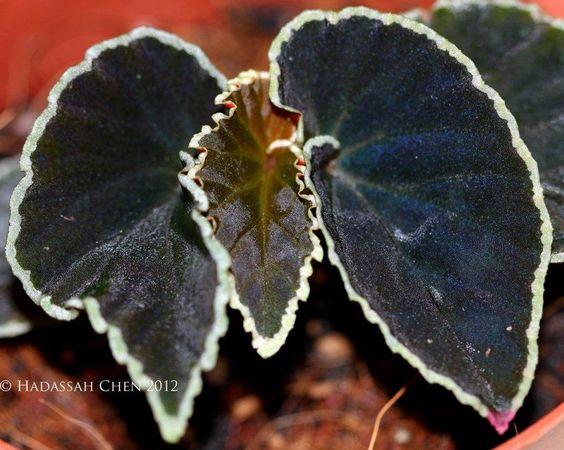 Begonia 'Black Beauty':
