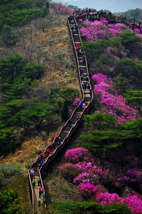 Goryeosan Azalea Festival Ganghwa Source In 2020 Korea Travel South Korea South Korea Travel