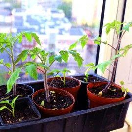 tomaten pflanzen selber ziehen einfache anleitung f r unverf lschten genuss garten und. Black Bedroom Furniture Sets. Home Design Ideas