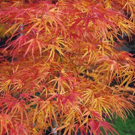 Photo+de++Erable+du+Japon+Linearifolium+(syn.+Scolopendrifolium)