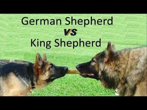 German Shepherd Vs King Shepherd Breed Info And Comparison