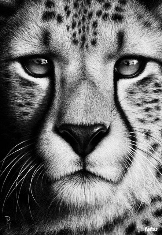 Pencil Drawing Cheetah Realistic Animal Drawings Cheetah Drawing Animal Drawings