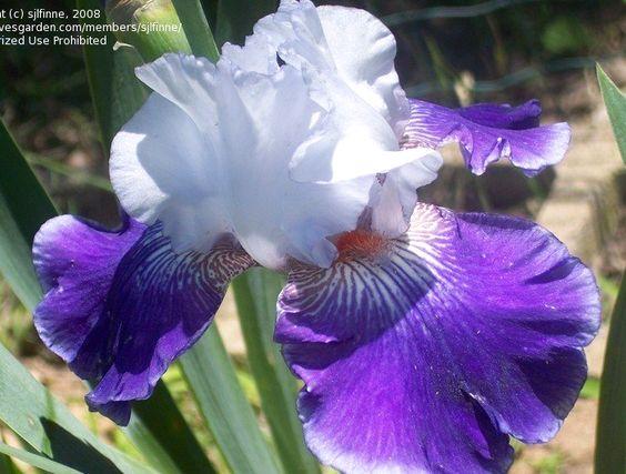 TB Iris germanica 'Regal Affair' (Shoop, 1989)