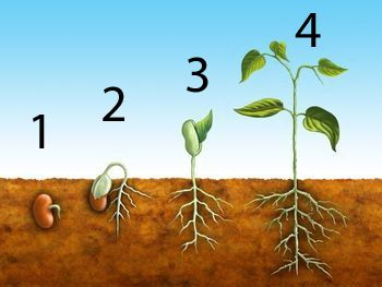 How a Goal-seed grows ....