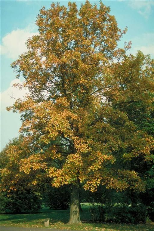 Shade Trees White Oak And Most Popular On Pinterest