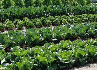 Kohl, ein typisches Gemüse erster Tracht.