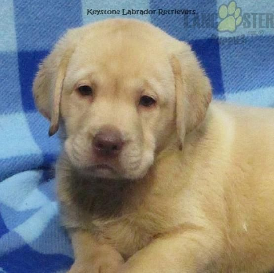 Marcus Champion Line Special Price Labrador Retriever Puppy For Sale In Denver Pa Lancaster Puppies Lancaster Puppies Labrador Retriever Dog Breeder