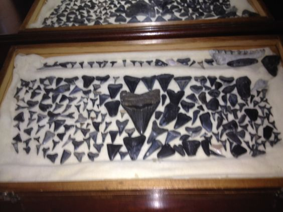 My Collection Of Sharks Teeth All Were Found In Myrtle Beach Sc Except