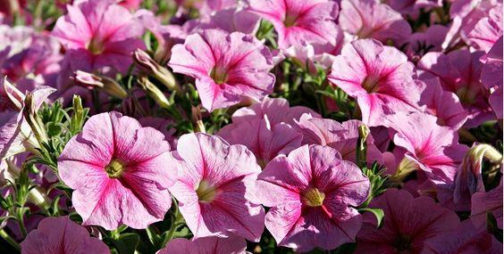 Plantas anuales y bianuales