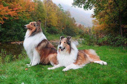 Our Rough Collies Buddy And Zack At The Cabot Trail Nova Flickr Rough Collie Collie Beautiful Dogs